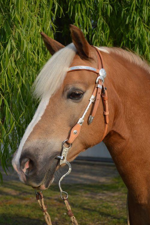 haflinger horse horse head