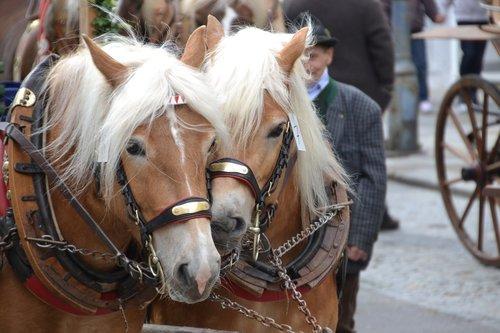 haflinger  horses  mammal