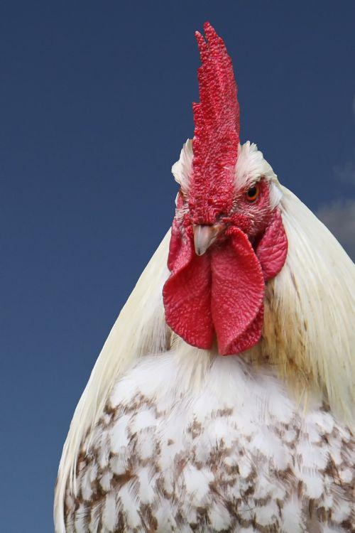 hahn gockel poultry