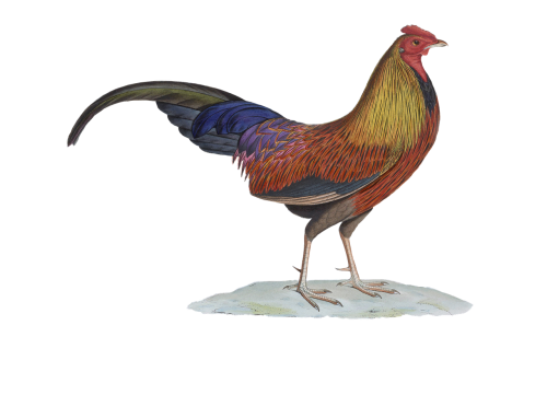 hahn poultry gockel