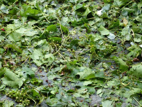 hail damage leaves broken