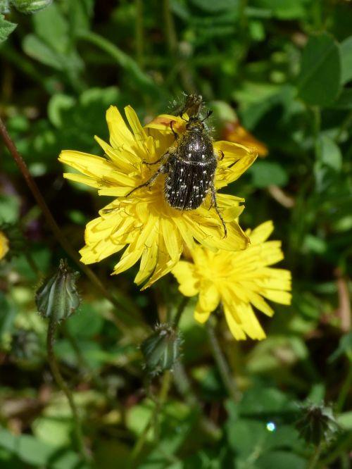 hairy beetle libar dandelion