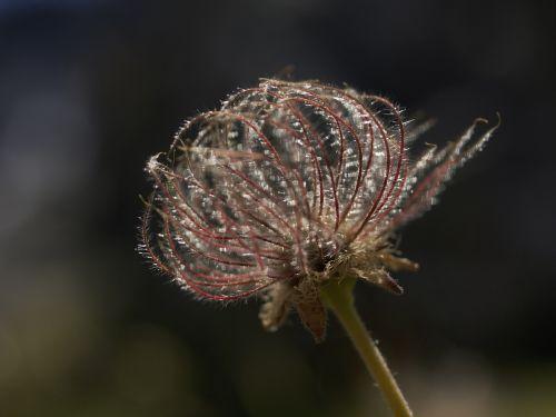 hairy flower flower nature