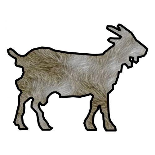 Hairy Goat
