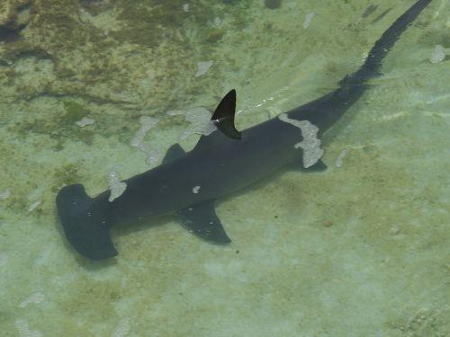 hammerhead shark shark underwater