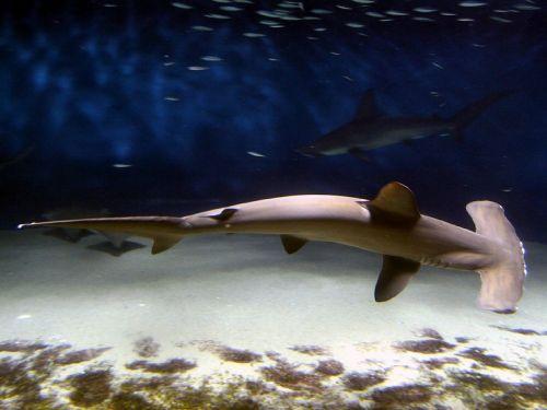 hammerhead shark fish shark