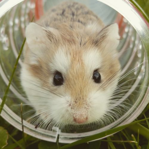 hamster brown cute