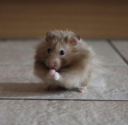 hamster nager rodent