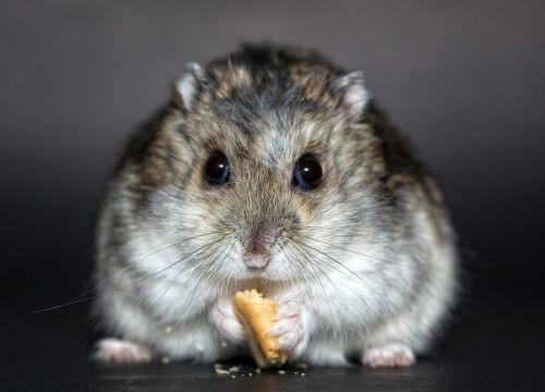 hamster dwarf hamster dschungare