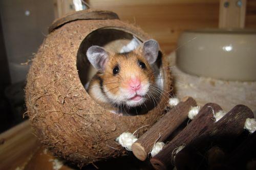 hamster coconut sleep