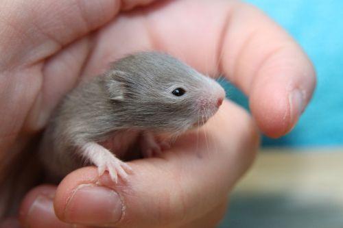 hamster goldhamster hamster baby