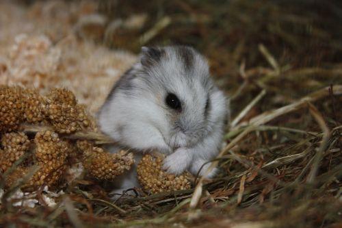 hamster animal cute