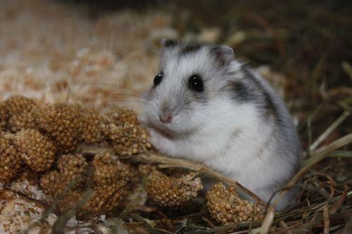 hamster eat cute