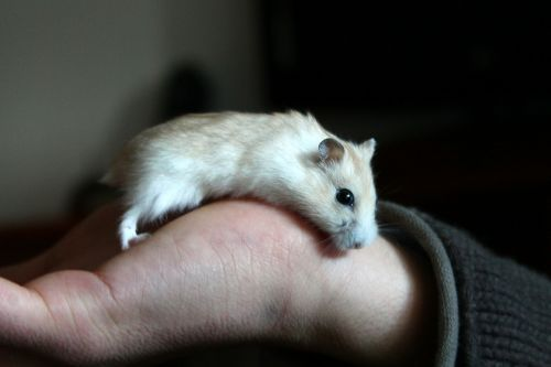 hamster animal hand