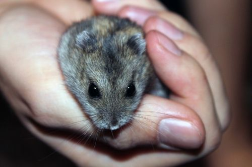 hamster rodent pet