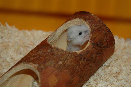 hamster baby hamster cute
