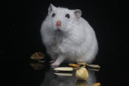 hamster  pets  small animals