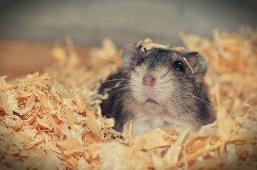 hamster  animal  rodent