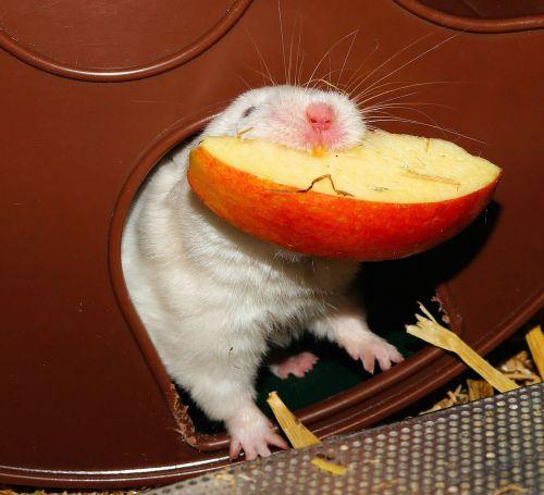 hamster eat impeller