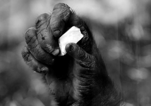 hand monkey gorilla