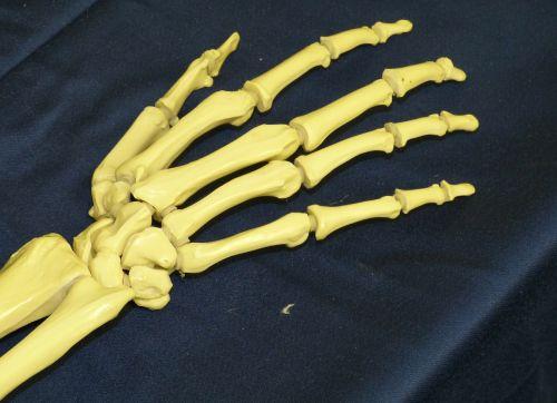 hand bone skeleton