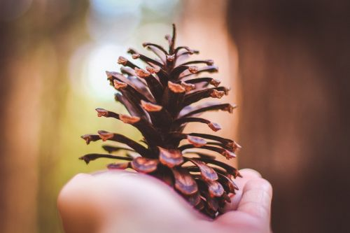 hand spruce cone