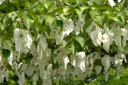 handkerchief tree davidia involucrata nature tree