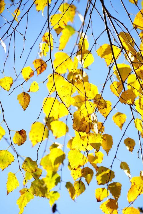 hang-birch birch autumn