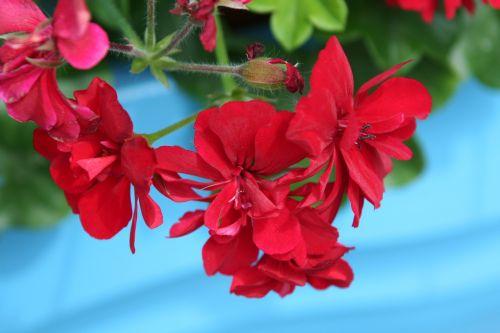 hanging geranium red blue