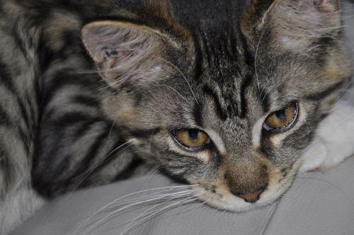 katė,pagrindinė dalis