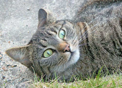 cat felidae pride