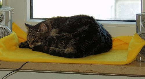 cat mackerel sleeping