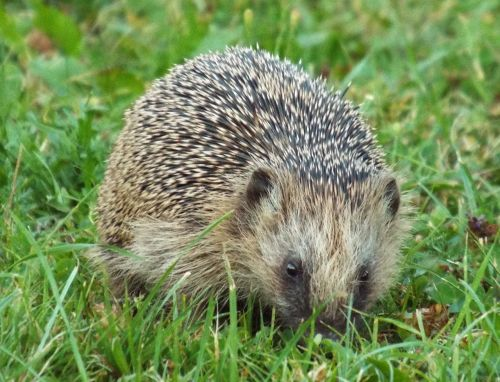 hannah hedgehog prickly