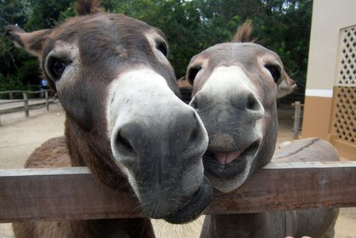 happy donkeys smiles
