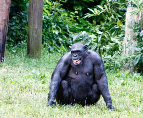 Happy Chimpanzee Monkey