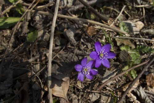 harbinger of spring hepatica hahnenfu greenhouse