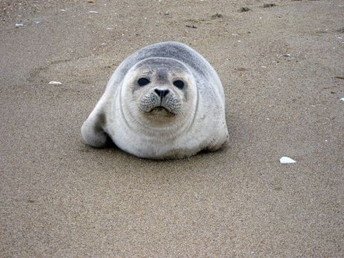 harbor seal resting sand