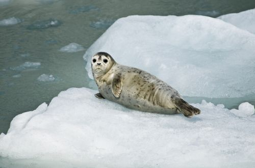 harbor seal pup resting