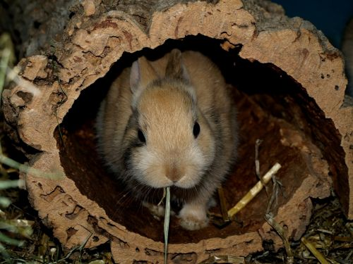 hare dwarf bunny nager