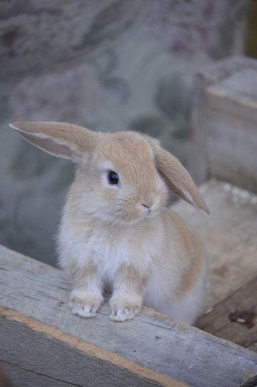 hare golden bunny dwarf aries