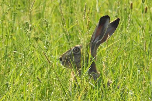 hare hidden mammal