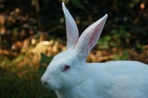 hare white rabbit