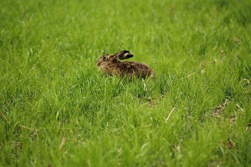 hare lepus europaeus freilebend