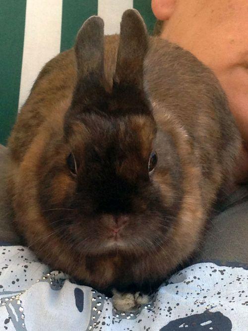 hare brown dwarf bunny