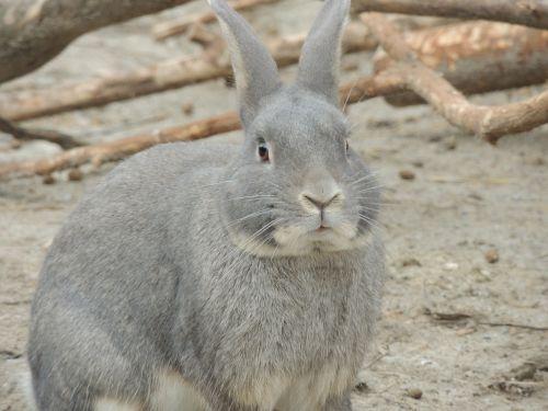hare gray hare animal