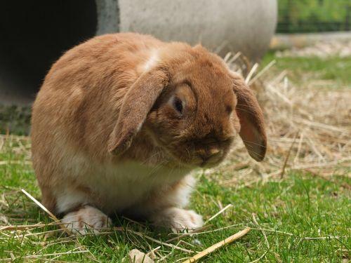 hare long ears meadow