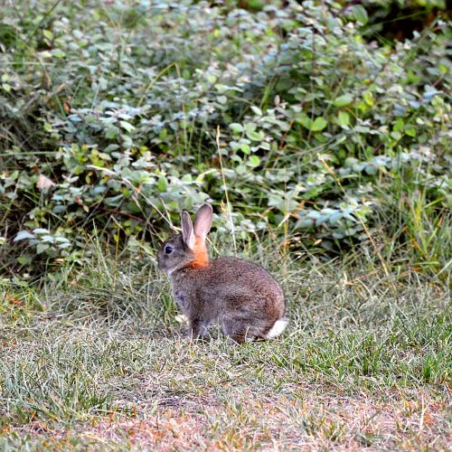 hare ears mammal