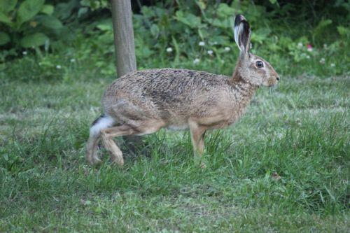 hare nature recording wild hare