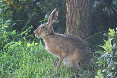 hare wild hare long eared