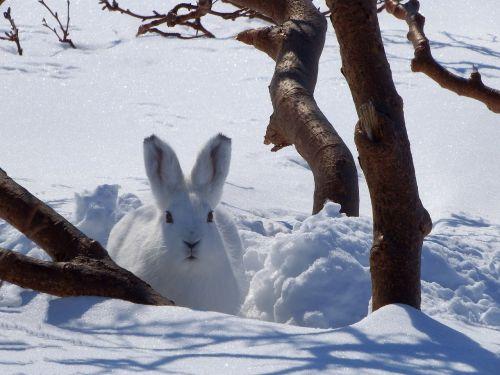 hare whitey animal